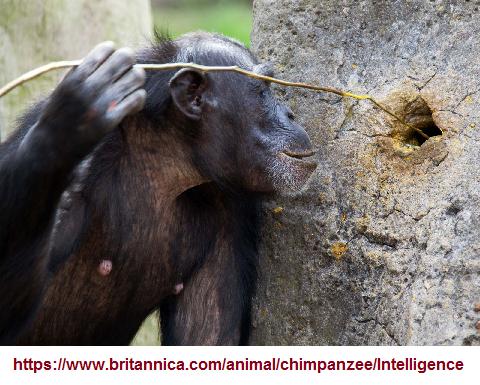 Chimpanzee_tool_usage (411K)