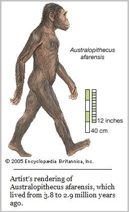 Australopitheus afarensis