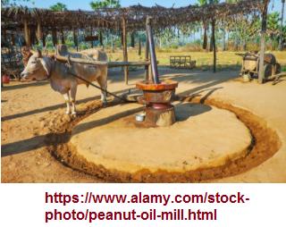 A bull driven mill stone