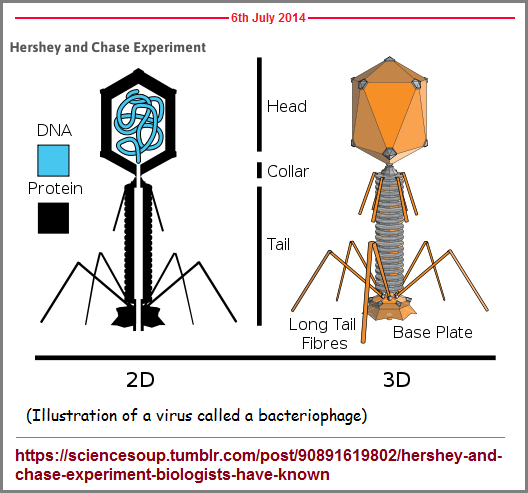 Bacterriophage models with packaged DNA