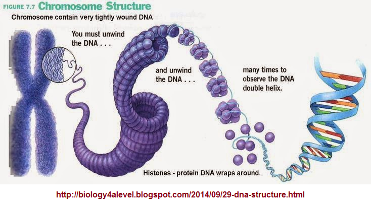 Another view of how highly compact DNA is