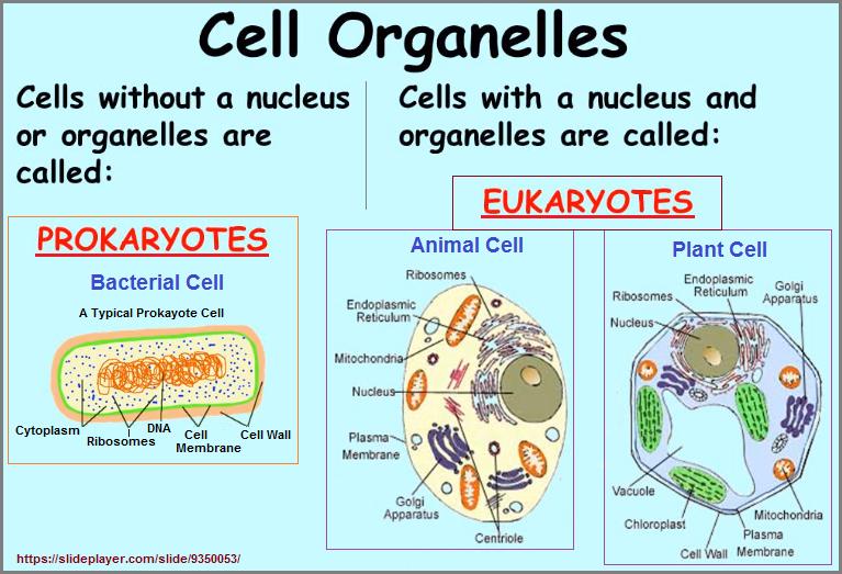 Examples of prokayote and eukaryote cells