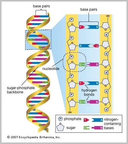 DNA strand (70K)