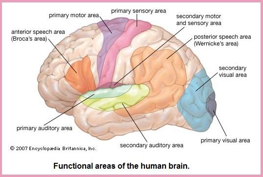 brain (64K)