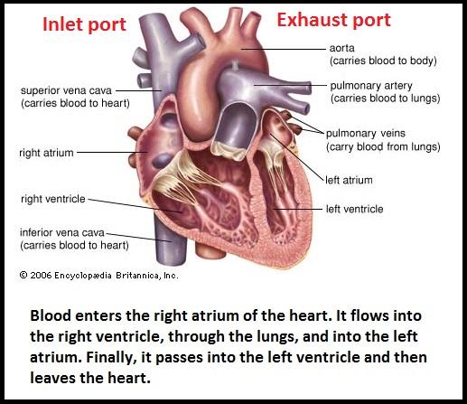 4-phase heart (84K)