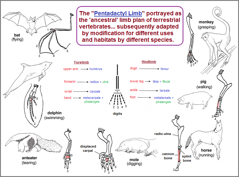 Examples of the Pentadactyl limb structure found in multiple life forms