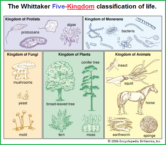 Whittaker's 5 KINDOMS classification system.