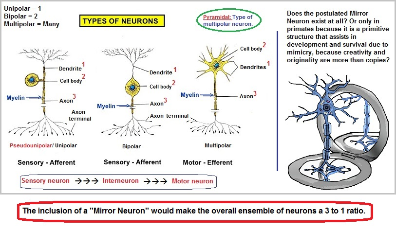 Three types of neurons with a speculative mirror type