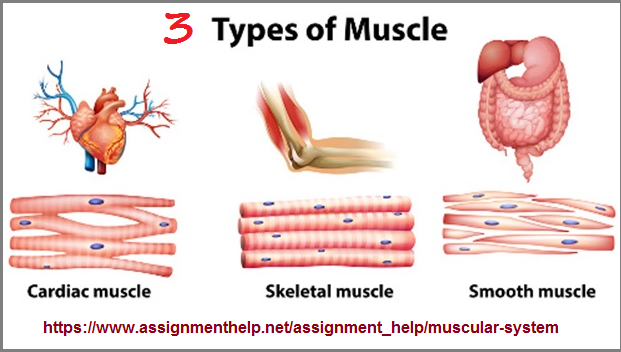 3 muscle types