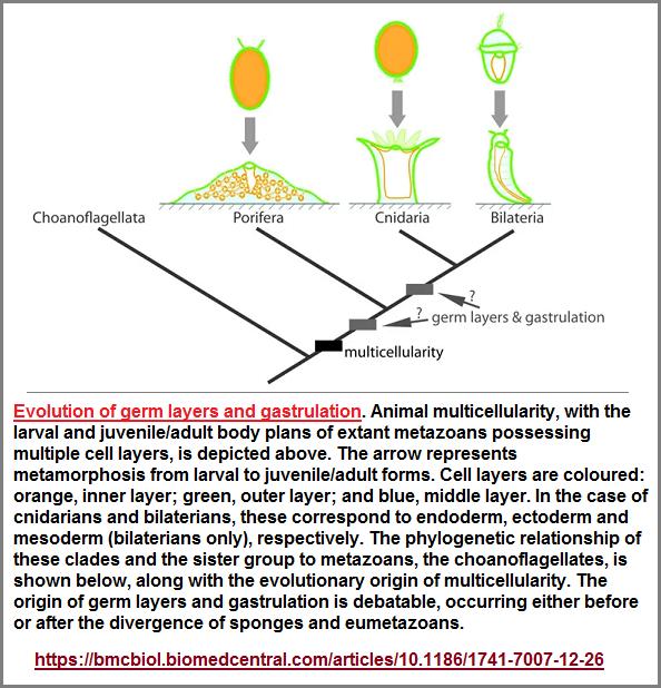 Germ layer evolution