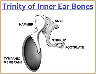 Trinity of Inner Ear bones