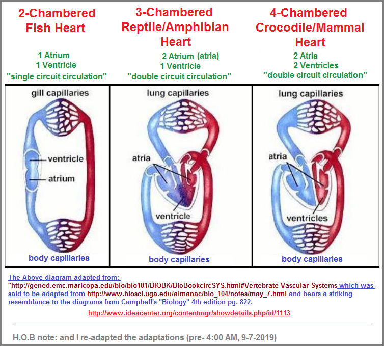 2, 3, 4 chambered heart examples image 2