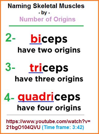 2, 3, 4  muscle origins