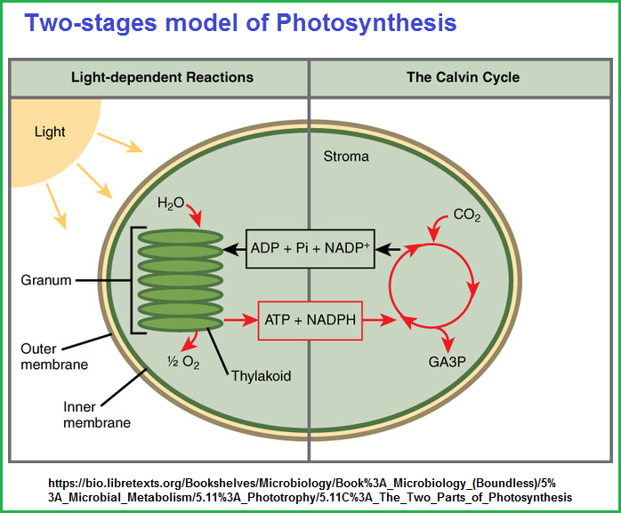 Two stages model of Photosynthesis