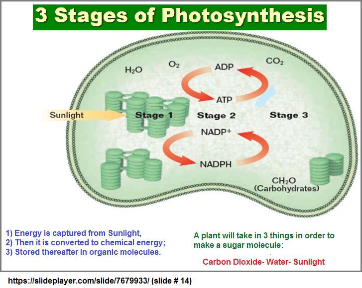 3 stages model of photosynthesis