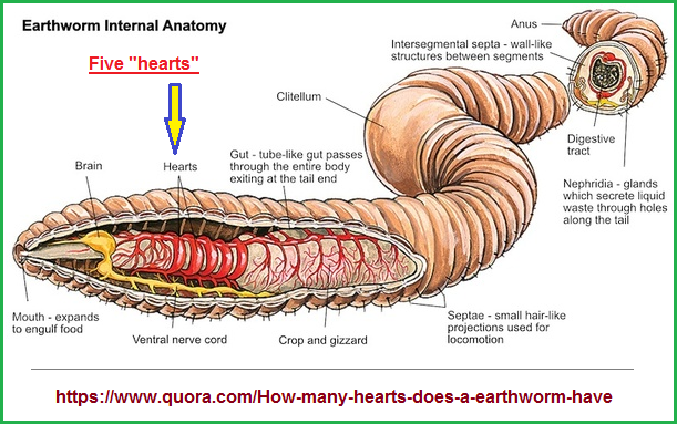 The five hearts of an earthworm