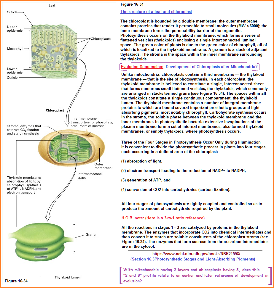 4 stages reference model to photosynthesis