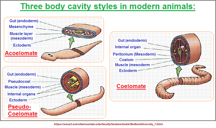 Three types of body cavities