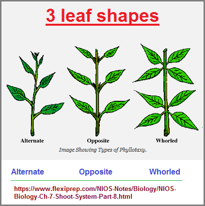 3 shapes of leaf arrangements as a body plan