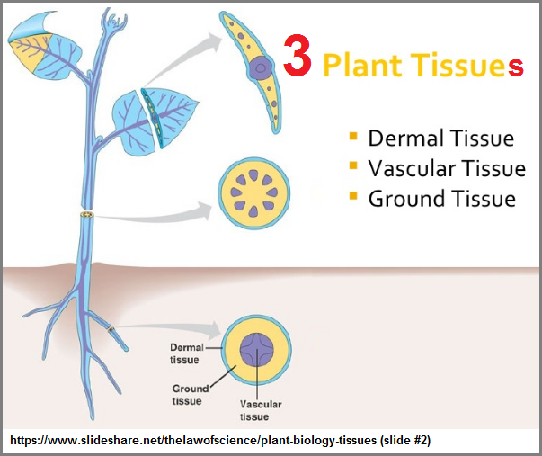 3 plant tissues