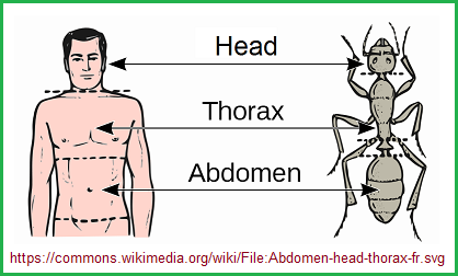 Head, Thorax, and abdomen body plan