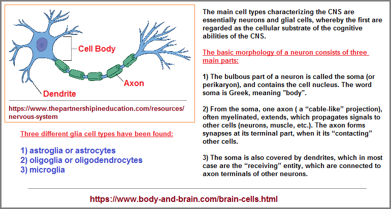 3 main parts to a neuron