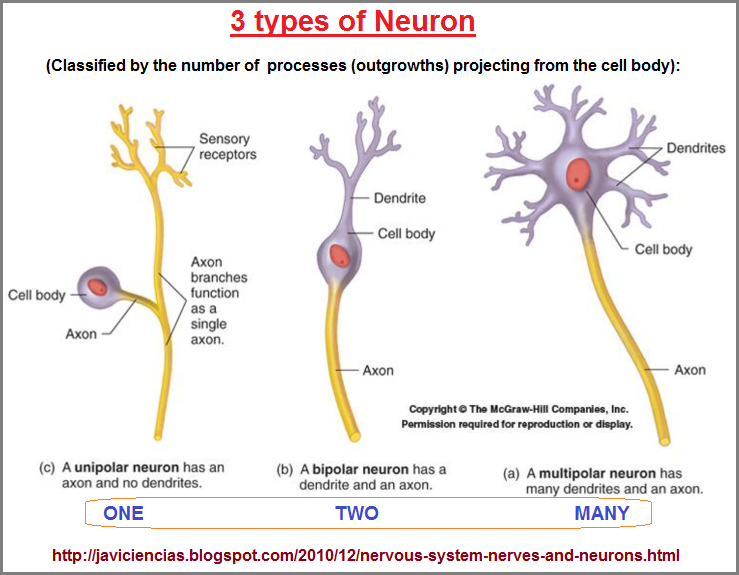 Three types of Neuron
