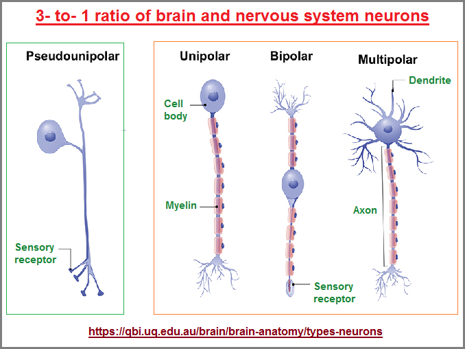 3 to 1 ratio of neurons