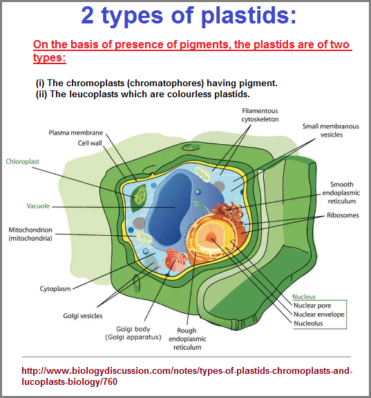 Two types of plastids perspective