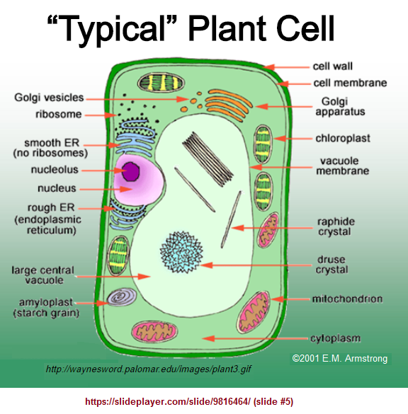 Typical plant cell image 3