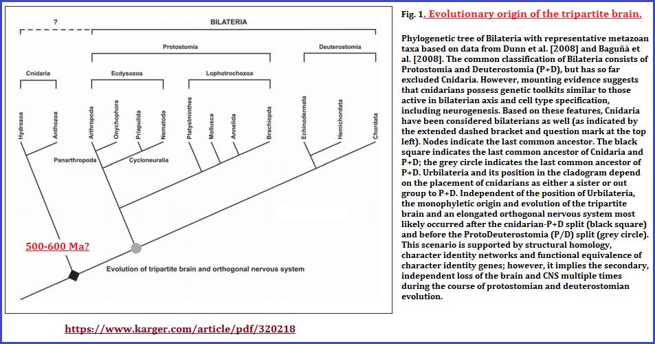 Tripartite brain evolution