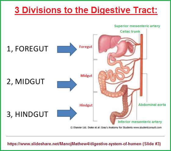 3 gut divisions