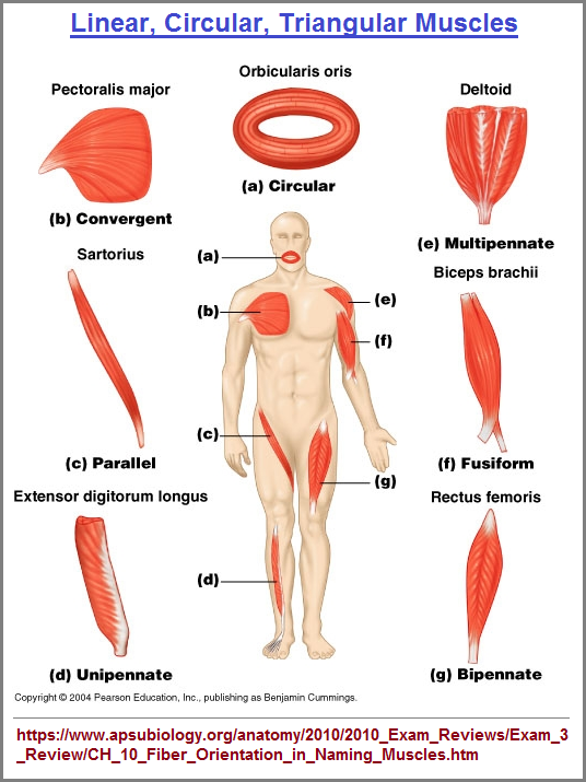 Linear, circular, triangule muscles