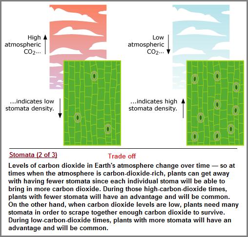 Stomata tradeoff description