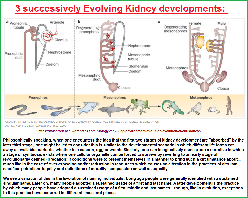 3 stages to the Evolution of the Kidney
