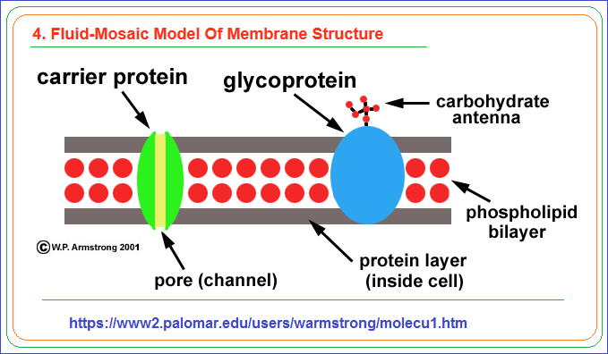 Fluid mosaic model of the cell membrane
