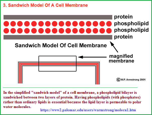 Sandwich model of a cell membrane