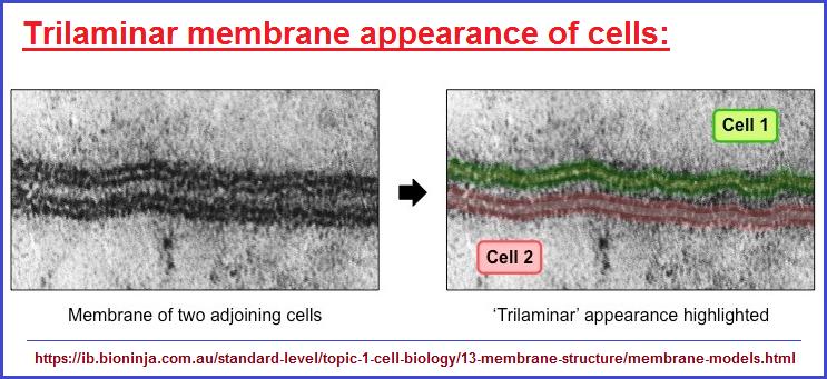 Trilaminar membrane appearance