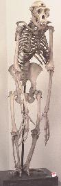 skeleton of chimp