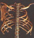primitve hominoid rib cage
