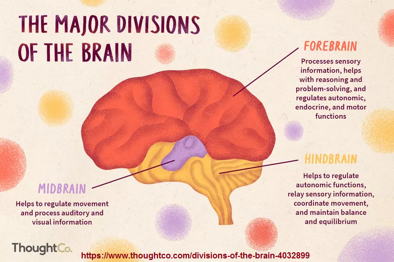 3 major brain divisions