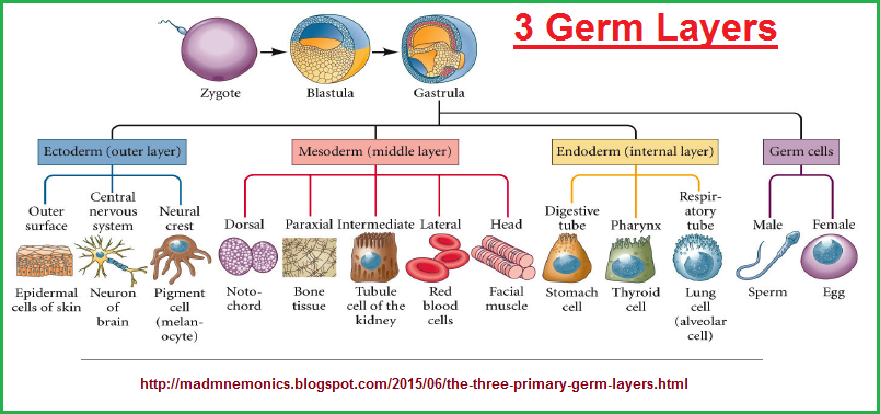 A cell-delineated look at the three germ layers