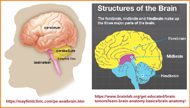 3 part brain structures