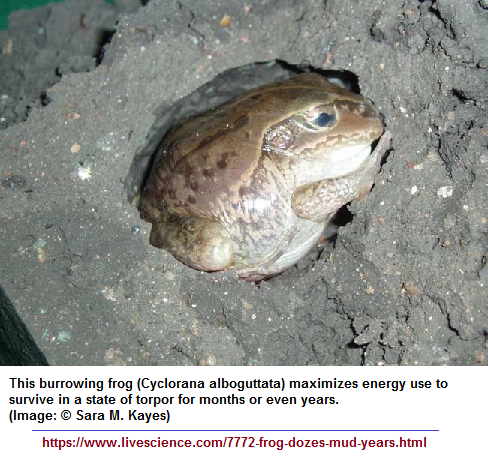 mud buried frog