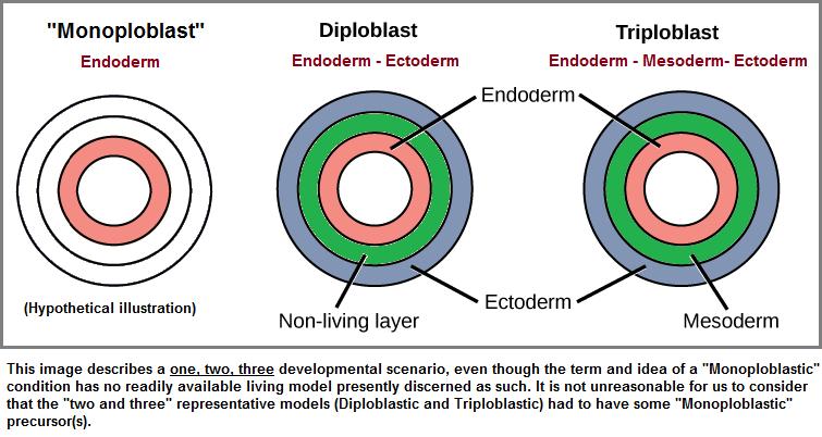 A one, two, three Germ layer development scenario