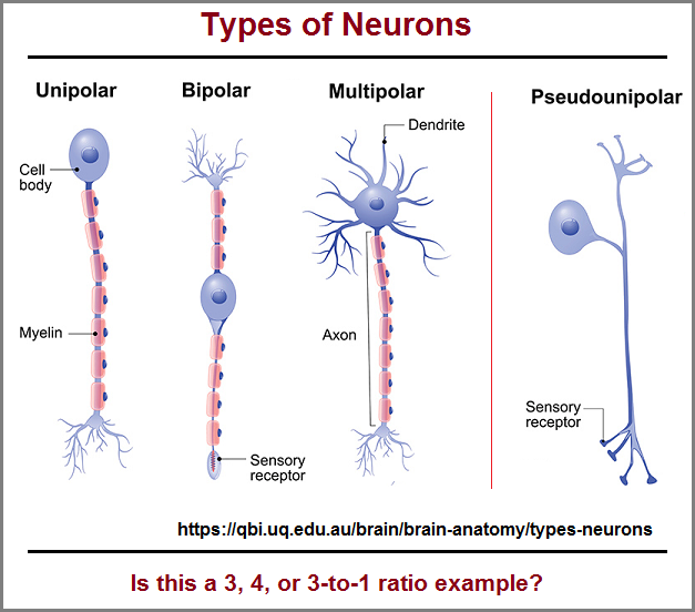 Types of neurons found in the spinal cord