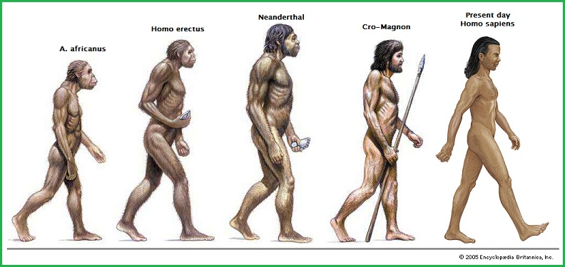 A short lineage of bipedal hominids