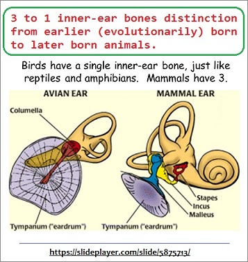 3 to 1 inner ear bone evolutionary distinctions