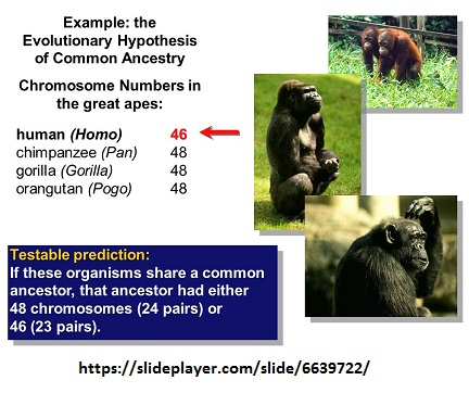 48 chromosomes in great apes