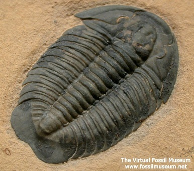 Three-patterned body plan of Trilobite